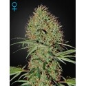 Super Bud Auto - GreenHouse Seeds femminizzati