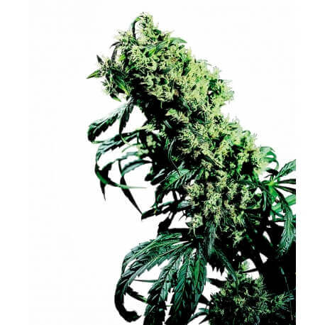 Northern Lights 5 X Haze - Sensi Seeds femminizzati Sensi Seeds €62,00