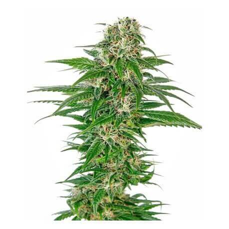 Early Skunk Automatic - Sensi Seeds femminizzati Sensi Seeds €22,50