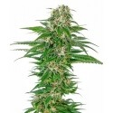 Early Skunk Automatic - Sensi Seeds femminizzati