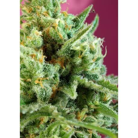 S.A.D. Sweet Afgani Delicious CBD - Sweet Seeds femminizzati Sweet Seeds €24,00