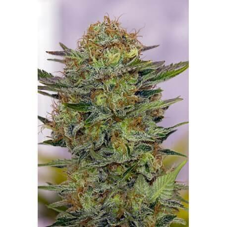 N.Y.C. Diesel - Soma Seed femminizzati Soma Seeds €37,50