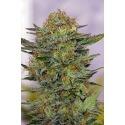 N.Y.C. Diesel - Soma Seed femminizzati