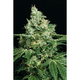 Sir Jack - Exotic Seed femminizzati Exotic Seed €30,00