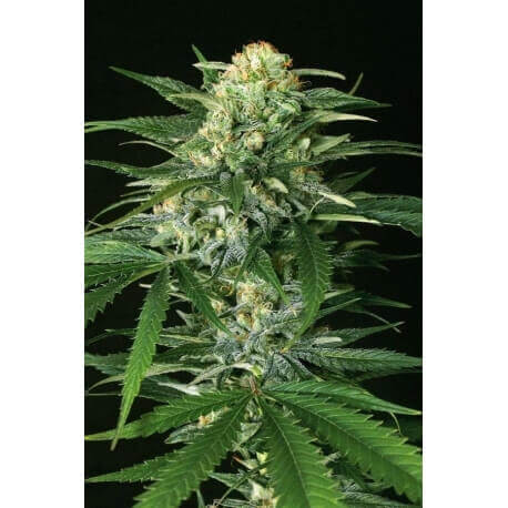 Gipsy Widow - Exotic Seed femminizzati Exotic Seed €22,50