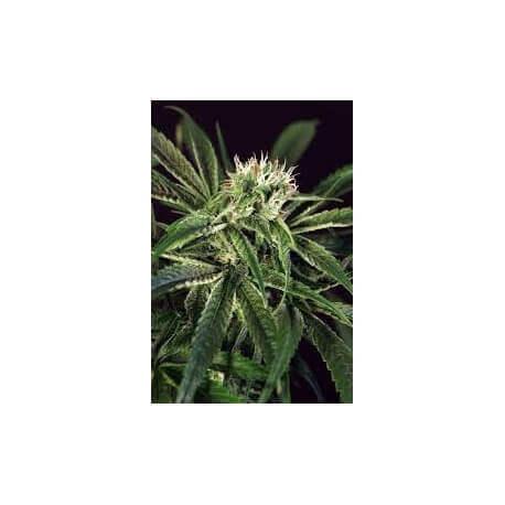 Amnesia Nr 7 - Exotic Seed femminizzati Exotic Seed €22,50