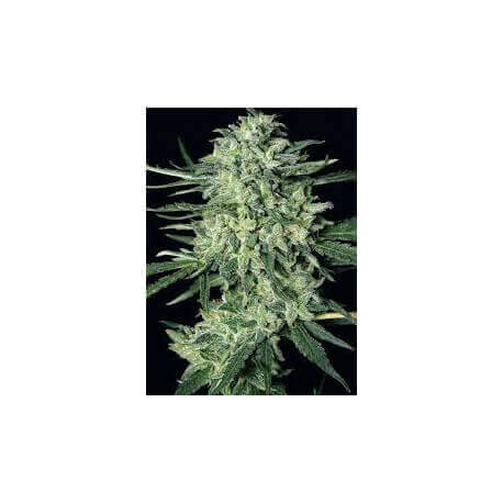 Monster Mash Auto - Exotic Seeds femminizzati Exotic Seed €27,00