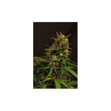 Russian Auto - Exotic Seed femminizzati Exotic Seed €24,00