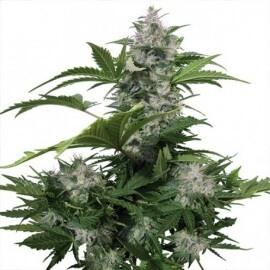 White Dwarf Auto - Buddha Seeds femminizzati