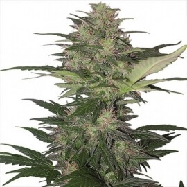 Red Dwarf Auto - Buddha Seeds femminizzati Buddha Seeds €6,00