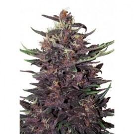 Buddha Purple Kush Auto - Buddha Seeds femminizzati