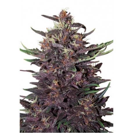 Buddha Purple Kush Auto - Buddha Seeds femminizzati Buddha Seeds €8,00