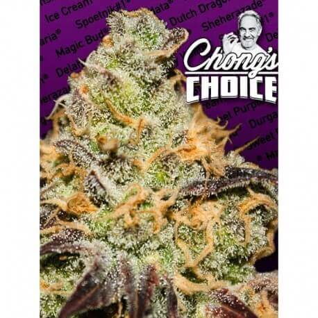 Blue Kush Berry - Paradise Seeds femminizzati Paradise Seeds €26,00