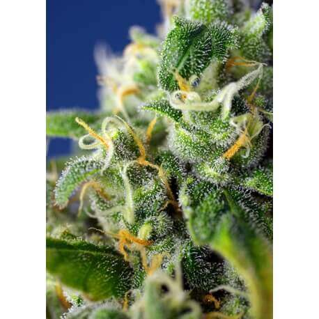 Honey Peach Auto CBD - Sweet Seeds femminizzati Sweet Seeds €24,00