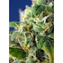 Honey Peach Auto CBD - Sweet Seeds femminizzati