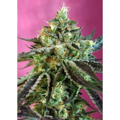 Sweet Nurse Auto CBD - Sweet Seeds femminizzati Sweet Seeds €24,00