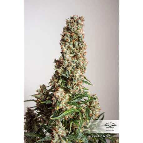 Auto Orange Bud - Dutch Passion femminizzati Dutch Passion €39,95