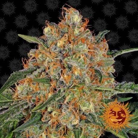 Orange Sherbert - Barney's Farm femminizzati Barney's Farm €32,00