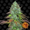 LSD Auto - Barney' s Farm Autorfiorenti