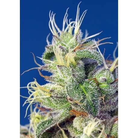 Do-Sweet-Dos - Sweet Seeds femminizzati Sweet Seeds €26,50