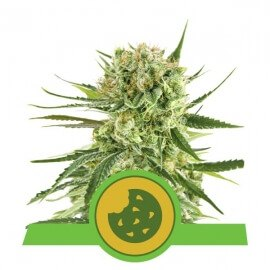 Royal Cookies Automatic - Royal Queen Seeds femminizzati Royal Queen Seeds €25,00