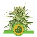 Royal Cookies Automatic - Royal Queen Seeds femminizzati