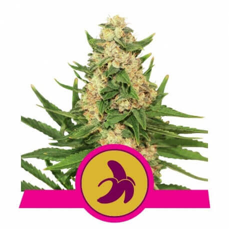 Fat Banana - Royal Queen Seeds femminizzati Royal Queen Seeds €25,00