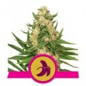 Fat Banana - Royal Queen Seeds femminizzati