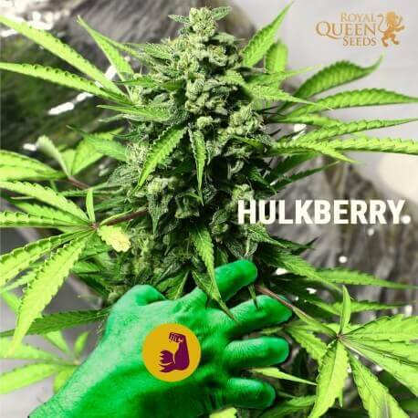 HulkBerry - Royal Queen Seeds femminizzati Royal Queen Seeds €29,00