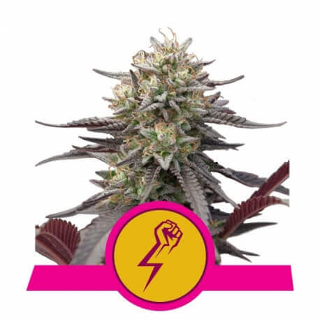 Green Punch - Royal Queen Seeds femminizzati Royal Queen Seeds €29,00