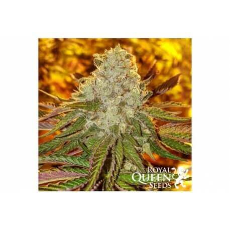 Royal Cookies - Royal Queen Seeds femminizzati Royal Queen Seeds €27,00