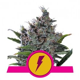 North Thunderfuck - Royal Queen Seeds femminizzati Royal Queen Seeds €27,00