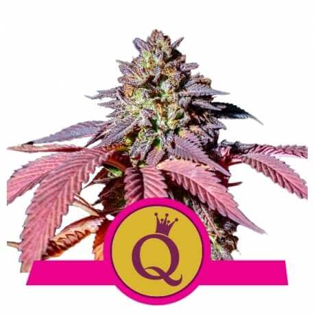 Purple Queen - Royal Queen Seeds femminizzati Royal Queen Seeds €20,00
