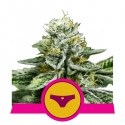 Sherbet Queen - Royal Queen Seeds femminizzati
