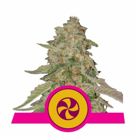 Sweet Zkittlez - Royal Queen Seeds femminizzati Royal Queen Seeds €30,00