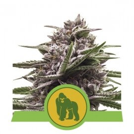 Royal Gorilla Automatic - Royal Queen Seeds femminizzati Royal Queen Seeds €27,00