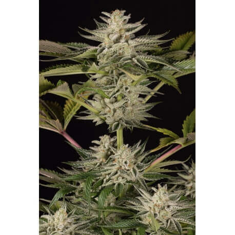 Ocean Grown Cookies - Dinafem femminizzati €25,00