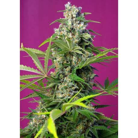 Gorilla Girl - Sweet Seeds femminizzati €29,90