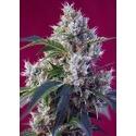 Indigo Berry Kush - Sweet Seeds femminizzati