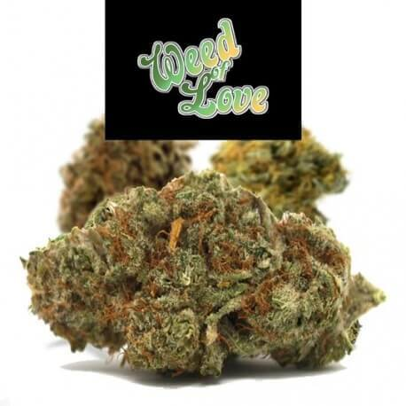 Son of 1969 (Chocolope) - Weed of Love Weed of Love €12,00