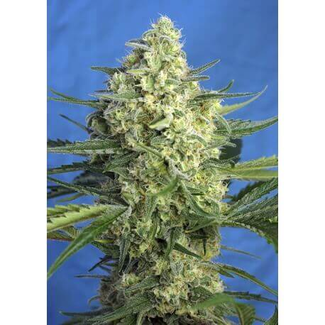 Jack 47 XL Auto - Sweet Seeds femminizzati Sweet Seeds €29,90