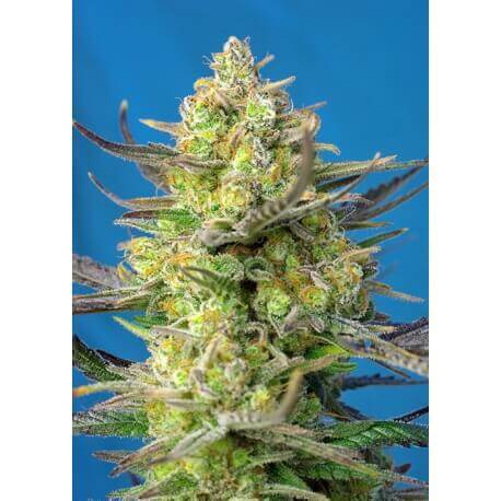 Sweet Cheese XL Auto - Sweet Seeds femminizzati Sweet Seeds €19,90
