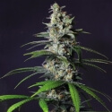 Chocolate Haze - Royal Queen Seeds femminizzati