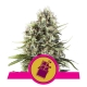 Chocolate Haze - Royal Queen Seeds femminizzati Royal Queen Seeds €23,00