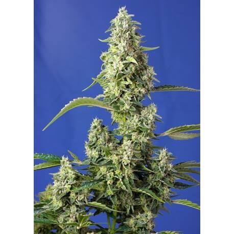 Gorilla Girl XL Auto - Sweet Seeds femminizzati Sweet Seeds €24,50