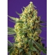 Crystal Candy XL Auto - Sweet Seeds femminizzati Sweet Seeds €19,00