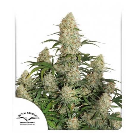 Auto Critical Orange Punch - Dutch Passion femminizzati Dutch Passion €14,95