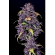 Purple Lemonade Auto - FastBuds femminizzati FastBuds €36,00