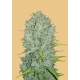 Northern Lights Auto - FastBuds femminizzati FastBuds €24,00