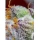 Red Gorilla Girl XL Auto - Sweet Seeds femminizzati Sweet Seeds €26,50